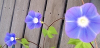 Morningglory_003a