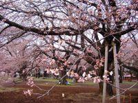 Sakura_019a_2